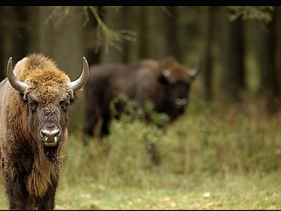 Bialowieza: a Touch of the Wild