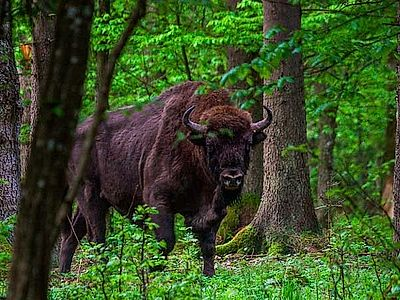 Belovezhskaya Pushcha National Park Tour